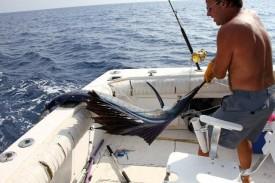 Espadon Voilier ou sailfish Guadeloupe