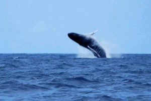Saut baleine en Guadeloupe - Deshaies-fishing.com