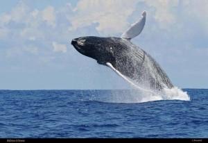 saut de baleine guadeloupe